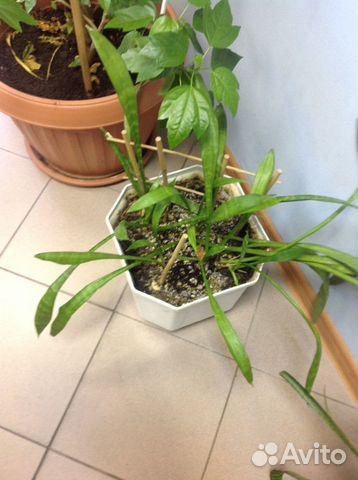 цветок щучий хвост фото: