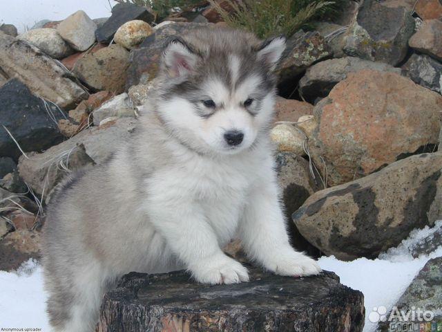 Продам щенка (кобель) хаски на кмв