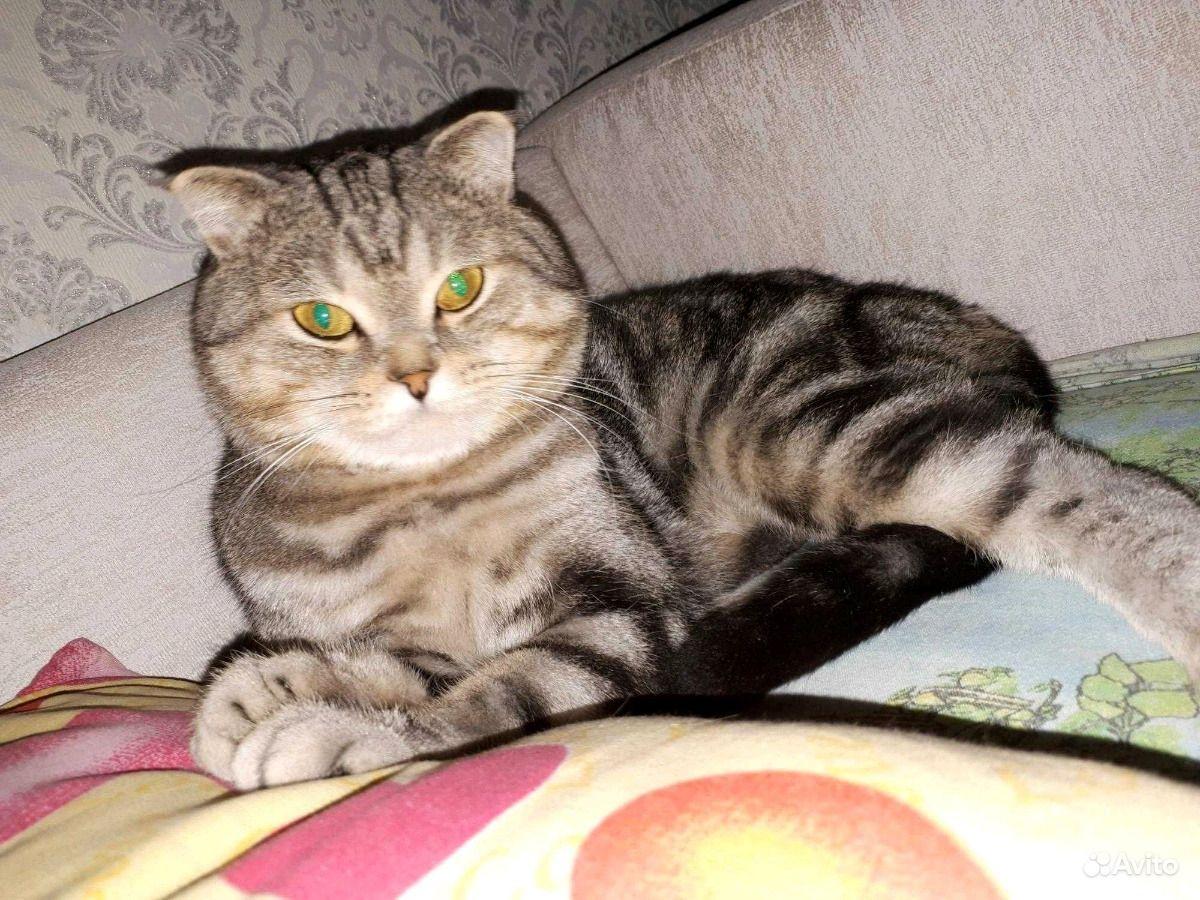 Шотландский Кот вязка - фотография № 1