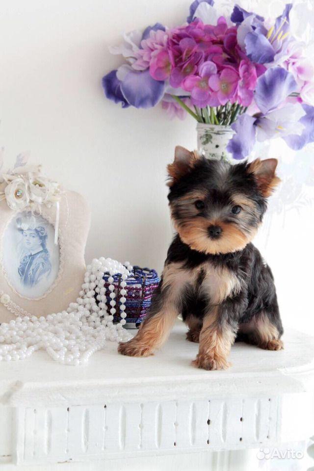 Йоркширский терьер -очень красивые щенки в Иваново - фотография № 7