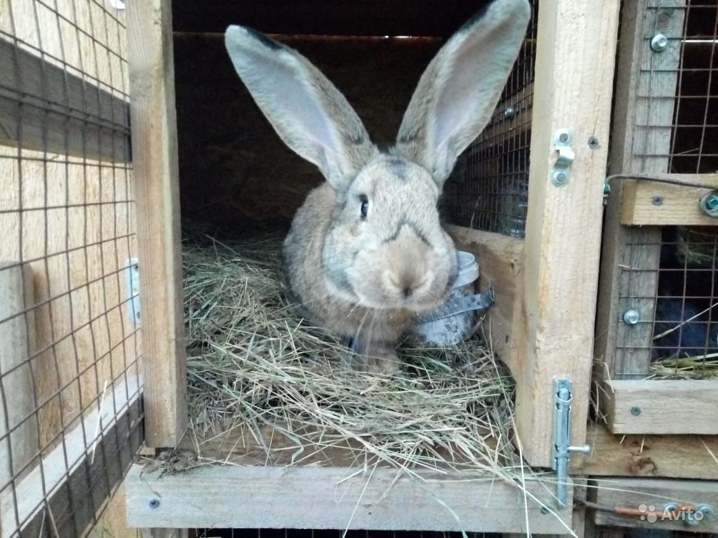 Кролики всех сортов и размеров. Великаны и Бараны