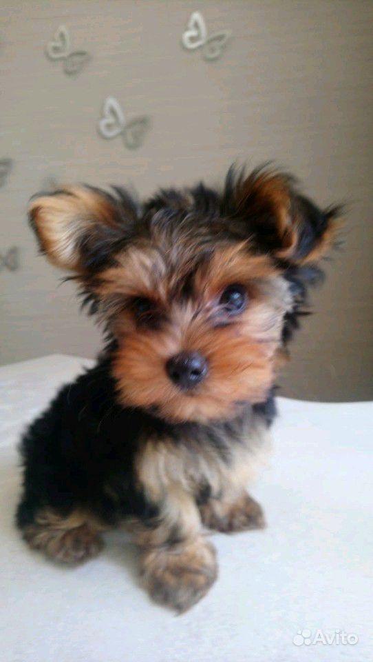 Продам щенка (мальчика),рожденного 11 мая С.Г.сдел