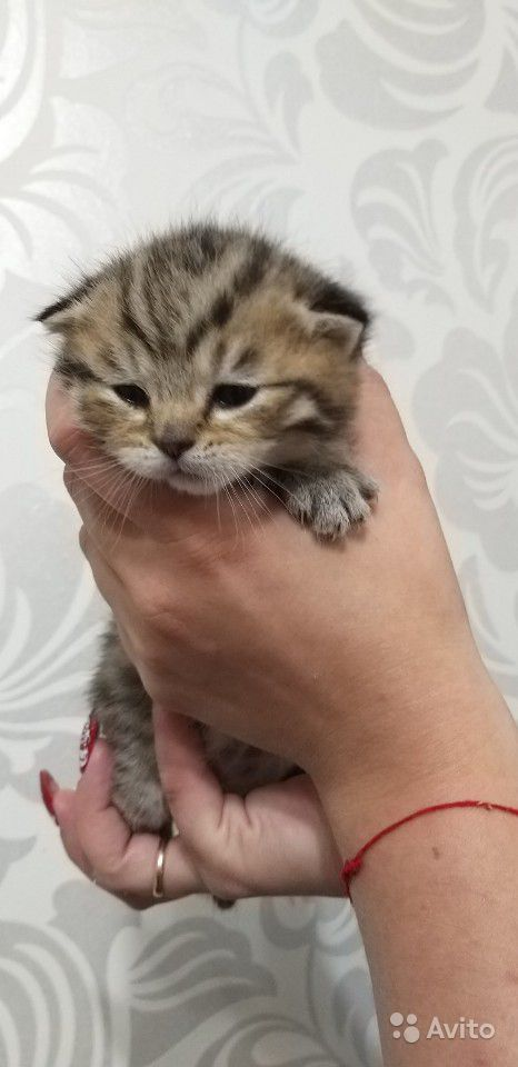 Продам котята Скоттиш-фолд