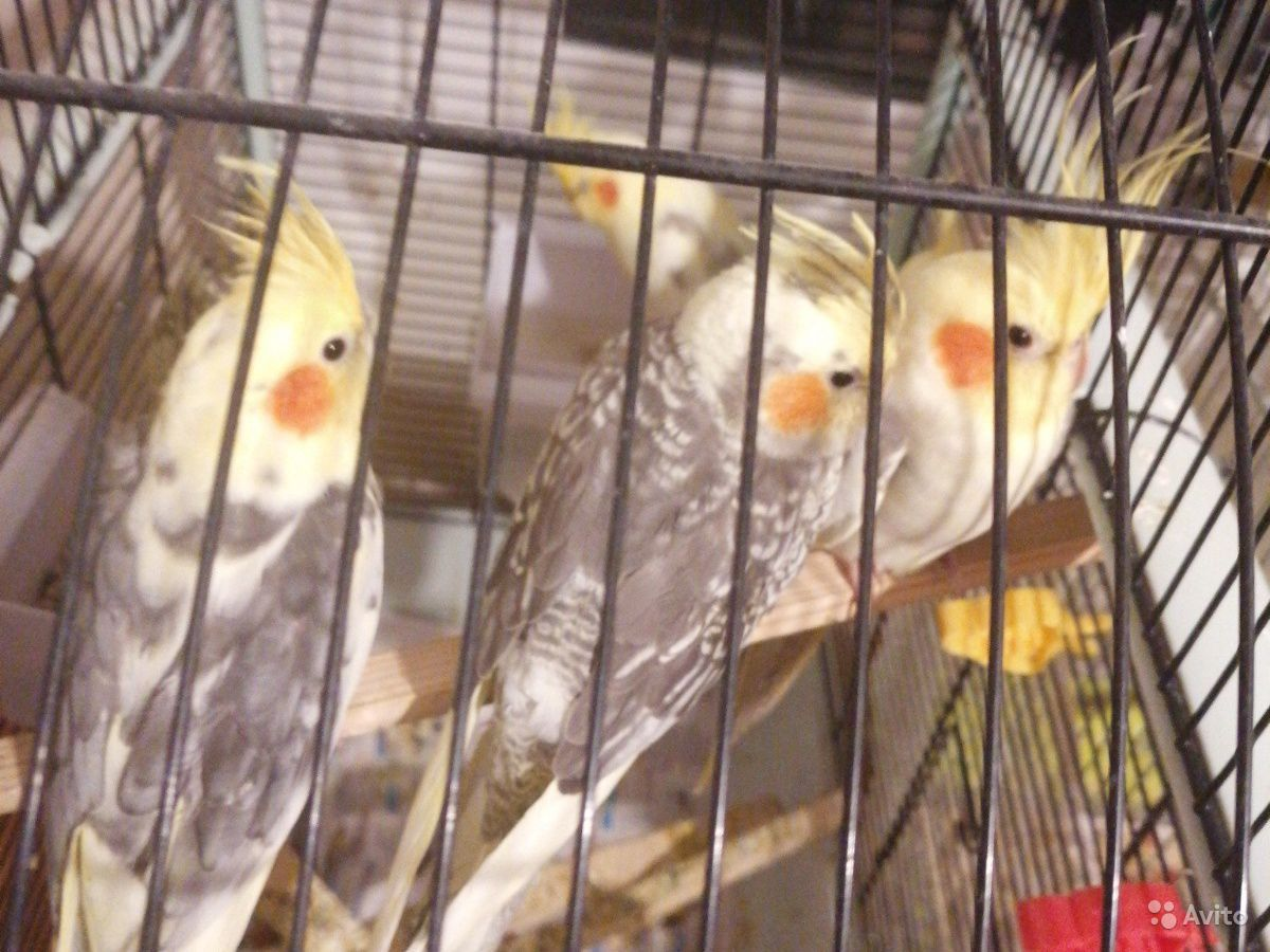 Попугай корелла и чехи птенци с документами купить на Зозу.ру - фотография № 2