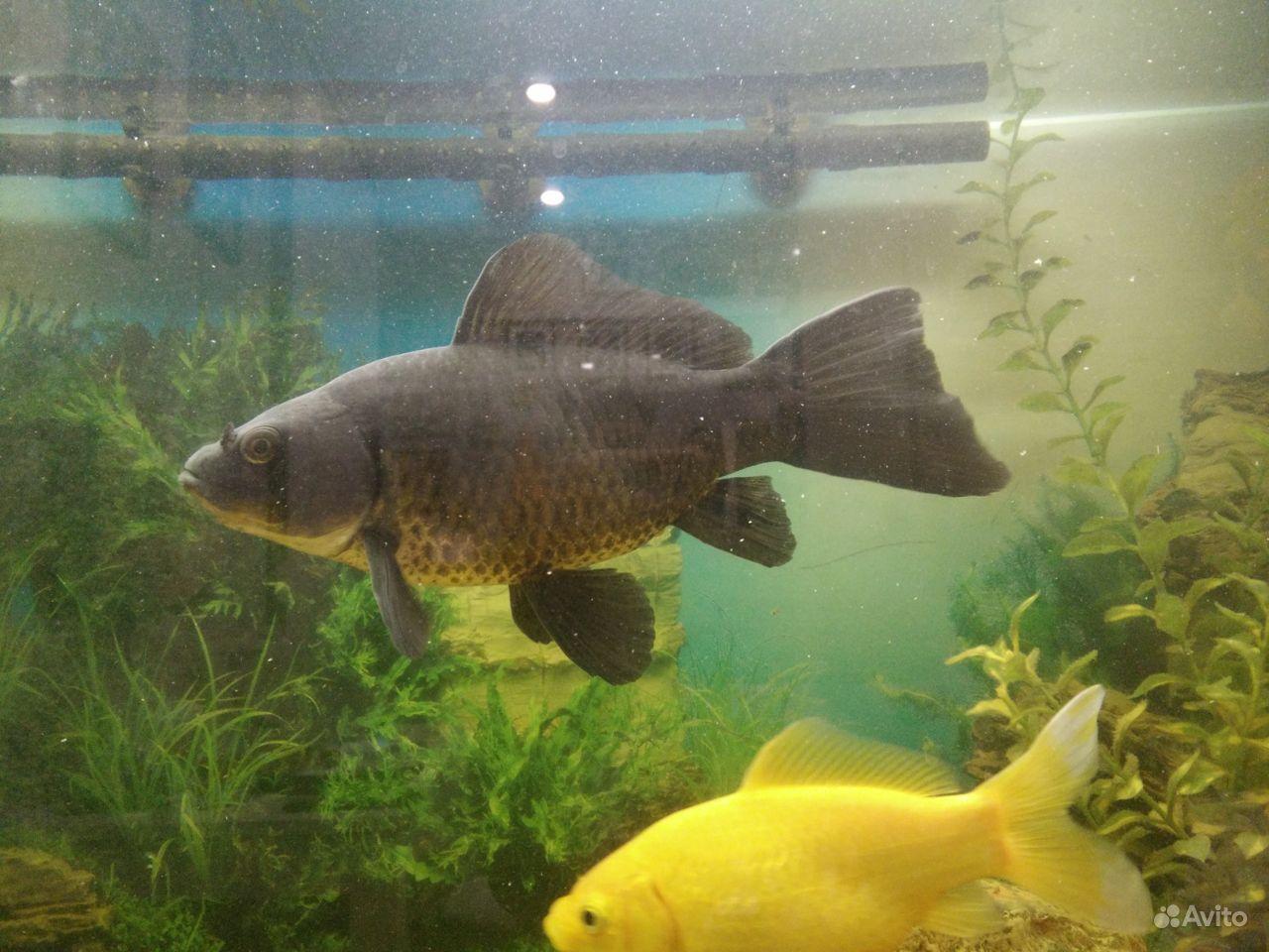 Коллекционные золотые рыбки купить на Зозу.ру - фотография № 5