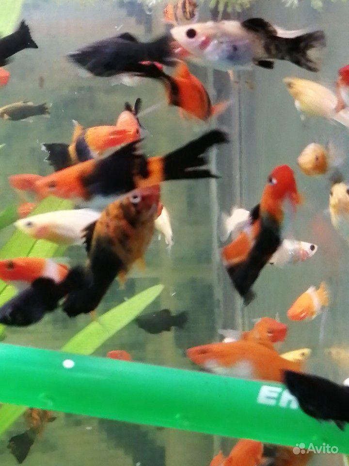 Меченосцы и молинезии аквариумные рыбки купить на Зозу.ру - фотография № 2