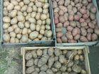 Картофель семенной отдам