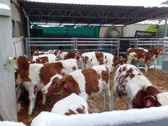 Авито продажа коров поросят в ростовской области