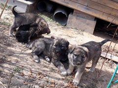 7 разнополых щенков, метисы овчарки