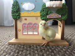 Цыплята Бройлеры (Арбора)