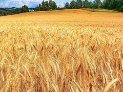 Закупаем пшеницу,ячмень