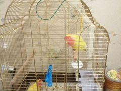 Неразлучники и волнистый попугай