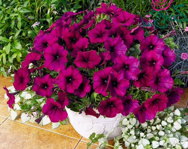 купить рассаду цветов в симферополе