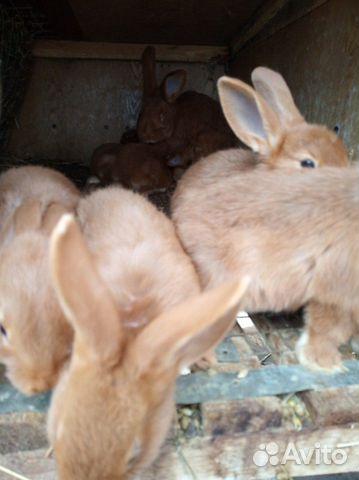 Племенные кролики 89065705365 купить 4
