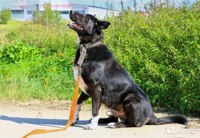 Великолепный Рэмбо, крупный,очень добрый пес в дар купить на Зозу.ру - фотография № 1