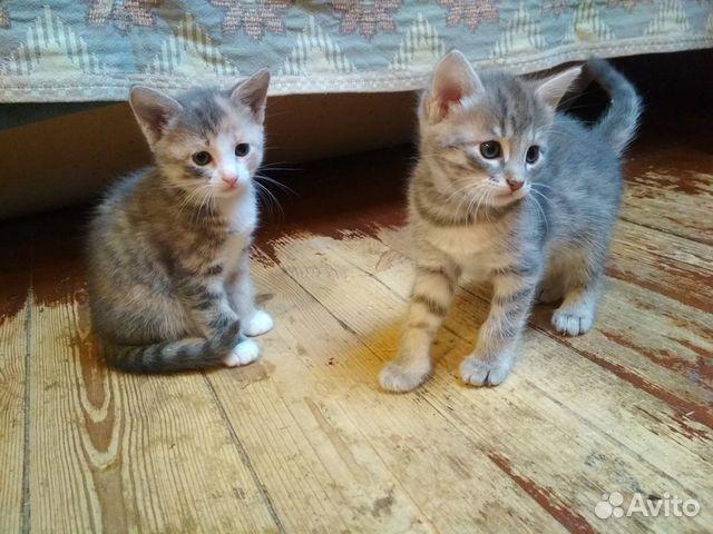 Котята от кошки мышеловки  89201645350 купить 2