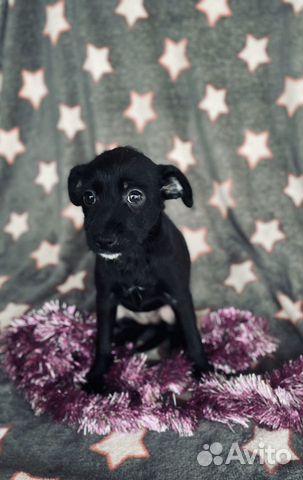 Ксолоитцкуинтли (пух ) мексиканская голая собака купить на Зозу.ру - фотография № 1