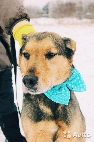 Взрослый пёс из приюта в дар купить на Зозу.ру - фотография № 4