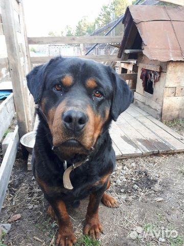 Собака 89249966749 купить 10