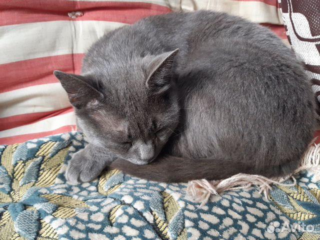 Отдается кот Русская голубая 89105329666 купить 2