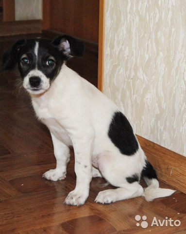 Собака  89191405223 купить 2