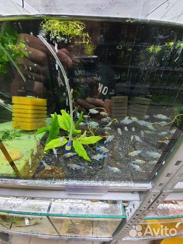 Поступление рыбы аквариумной  купить 9