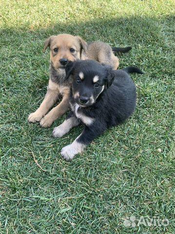 Собака  89277420768 купить 4