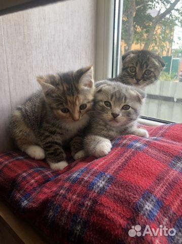 Вислоухие котята  89105471513 купить 4