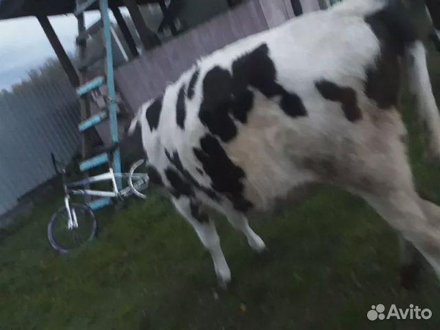 Корова бычок  89516032805 купить 4