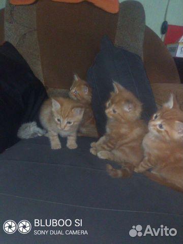 Кошка  89293253492 купить 1