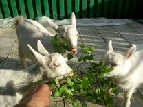 Продам двухмесячных козликов