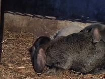 Кролики породы французский баран 7 мес