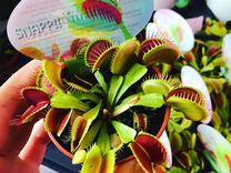 Венерина-мухоловка,растения питающиеся насекомыми