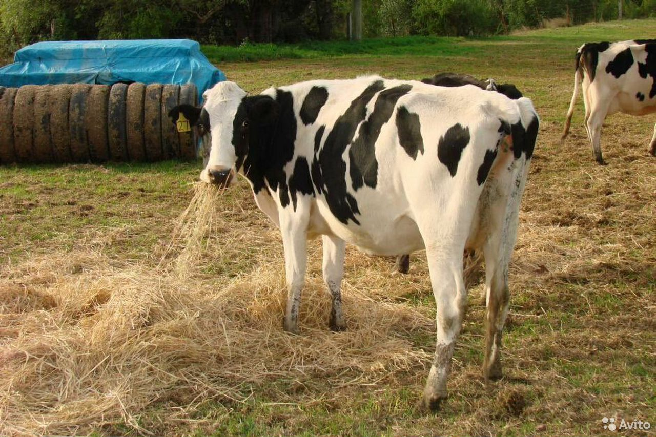 Корова  89515718352 купить 1