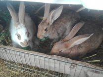 Кролики в разведение