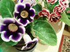Цветы комнатные глоксиния,герань,фикус,хлорофитрум
