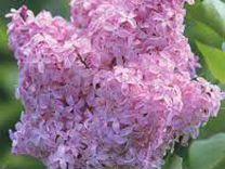 Сирень розовая саженцы 1-2-3-4 летние в контейнере