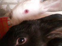 Крольчата 2 мес Чернобурые привиты