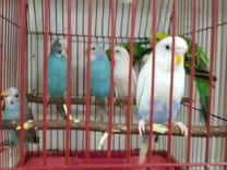 Попугай волнистые