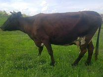 Корова на молоко