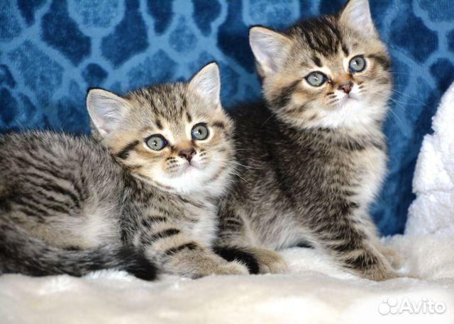 Британские котята  89003748897 купить 1