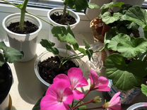 Пеларгония герань розовая, белая. Уже цветут в дан
