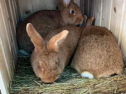 Кролики нзк На племя