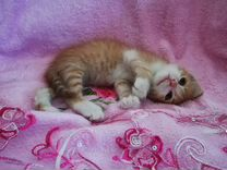 Котята Сибирской гипоаллергенной породы. Мальчики