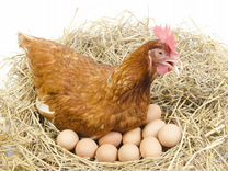 Шейвер браун на яйце