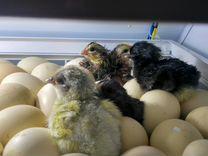 Продаётся инкубационное яйцо и гусят порода Линда