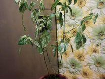 Белопероне вариегатное — Растения в Москве