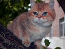 Золотой тикированный котик