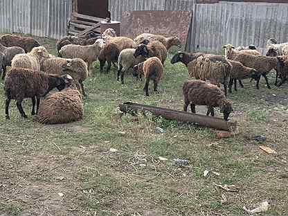 Курдючные бараны овцы