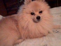 Мальчик Шпиц ждет такую же девочку — Собаки в Геленджике